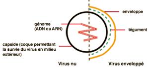 structure-virus-d